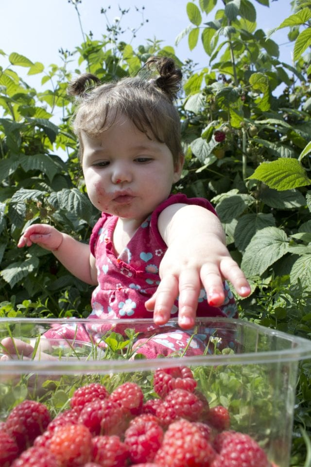 Petite fille mangeant des framboises